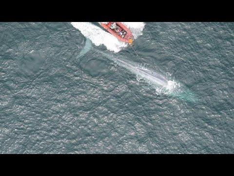 Άκουσαν για πρώτη φορά την καρδιά μιας γαλάζιας φάλαινας…