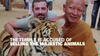 Nonton Thailand S Tiger Temple Raid Film Subtitle Indonesia Streaming Movie Download