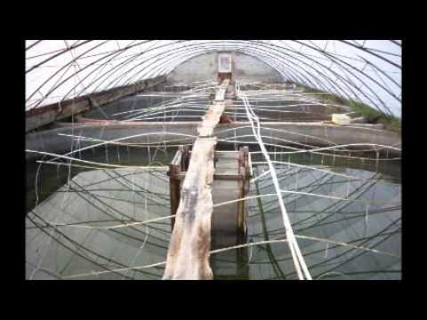 Intensive Shrimp Farming China Crevetticulture