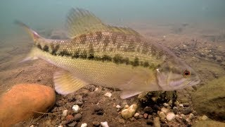 Video Underwater Footage | Big Spotted Bass Eating Swimbaits and Jigs! MP3, 3GP, MP4, WEBM, AVI, FLV Agustus 2018