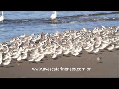Maçarico-branco - Cristiano Voitina