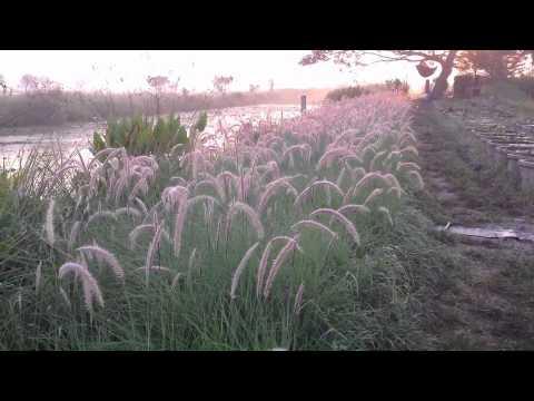 จำหน่ายหญ้าสำหรับตกแต่งทุกชนิด
