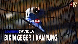 Video Lovebird Beli 60jt Rajin Kondangan,dirawat Sampai KONSLET Bandrol 1M MP3, 3GP, MP4, WEBM, AVI, FLV Oktober 2018