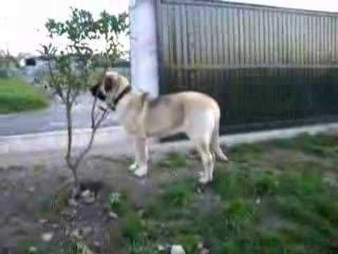 mis cachorros de Mastin Español