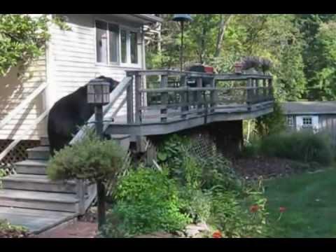 Großer Schwarzbär spaziert im Garten, witzig was danach passiert…