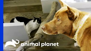 Building a Huge Cat Tree For Kittens | Animal Cribs by Animal Planet