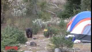 Video Black Bear Zapped by UDAP Bear Shock Electric Fence for Food Storage MP3, 3GP, MP4, WEBM, AVI, FLV Oktober 2017