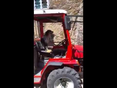 cane che guida trattore. video reale. stupendo