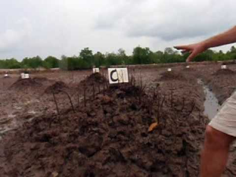 Mangrove Rehabilitation Project in Shrimp Ponds, Krabi, Thailand