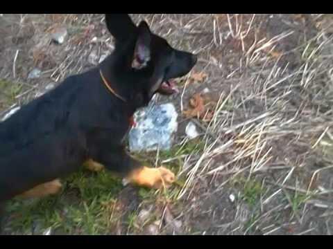 Charitys Mr. Watermelon Lemonade Black and Tan Male Puppy