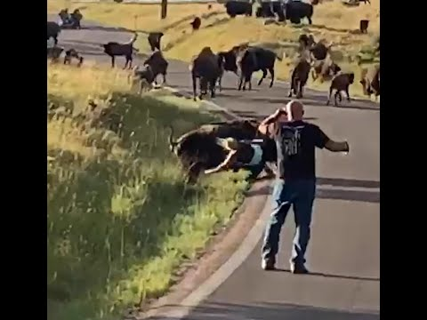 A bison violently thrashes a tourist who gets a too close, tearing off her jeans in the process.