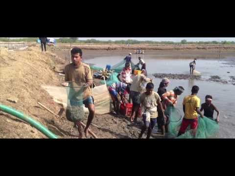 India's best  prawns farming ,& harvesting day  (B&M Farms)