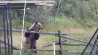 Video Language Warning! Grizzly Bears trying to eat my pet ducks.. MP3, 3GP, MP4, WEBM, AVI, FLV September 2017
