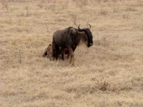 Hyena stalking wildebeest in open plains in Tanzania part 2