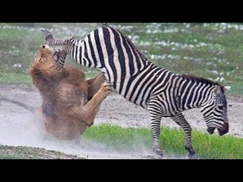 Lion vs Zebra Real fight  Animals attack and hunt failed 2017