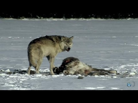 Wolf Pack Threatens Tanana | Yukon Men