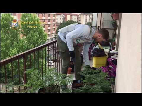 VIDEO GUARDIA DI FINANZA  COLTIVAZIONE MARIJUANA