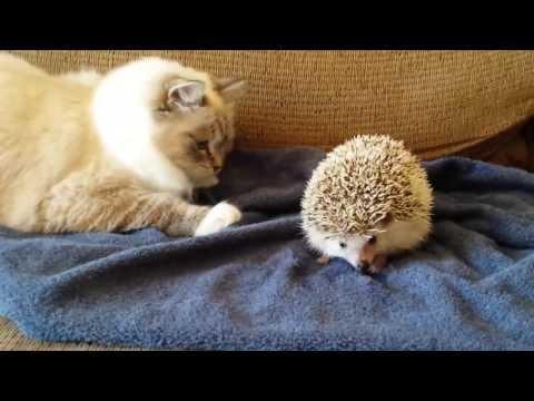 JAO: Mačka sela na ježa