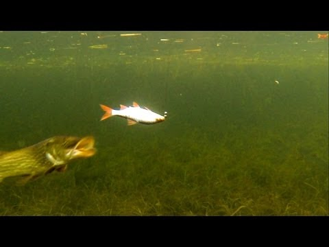 Fishing: pike attacks a dead bait / strike underwater slow motion. Рыбалка: атака щуки подводой.