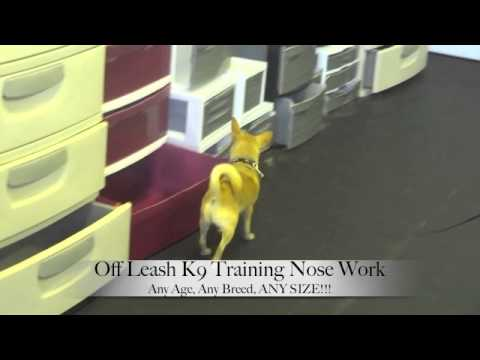 Chihuahua Scent Detection Nosework Training