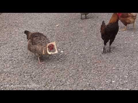 Die Henne & das Toastbrot