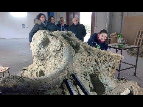 """Quando il Valdarno era una savana. Ecco il """"Mammuthus meridionalis"""" ritrovato al Tasso"""