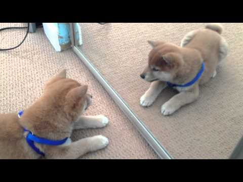 kenji the shiba inu: playing with the mirror