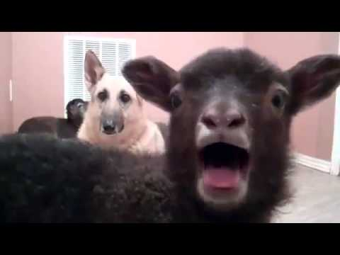 lamb - Just a lamb saying yeah, ten hours version + WTF Dog NOTE: The content in this video stems from a parody of original home movie. This is merely a parody of p...
