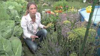 Выращивание элеутерококка (смотреть с 2:50)