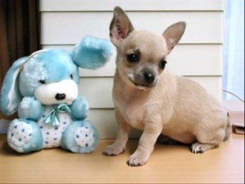 ¡Oh, Chihuahua!
