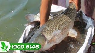 Thủy sản | Tiết lộ bí quyết chữa bệnh xuất huyết cho cá trắm
