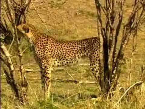 Мир животных - хищники (Львы гепарды леопарды) - DomaVideo.Ru