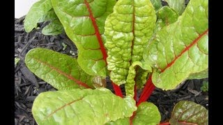 A basic run down on growing one of my garden favorites. Swiss Chard is an easy plant to grow and it adds a nice bit of color to the...