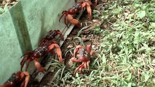 Christmas Island Red Crab migration - November 2010 - Murray Rd near the Christmas Island District High School. Crabs were...