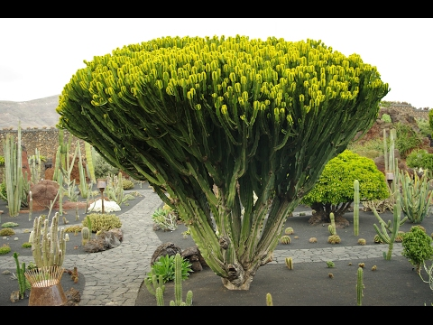 Fotos cactus raros videos videos relacionados con - Cactus raros fotos ...