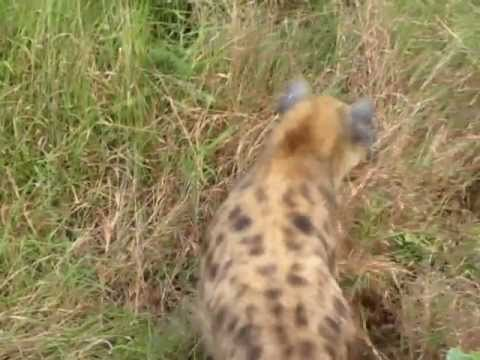 Animal Fight: Hyena versus Leopard in Africa