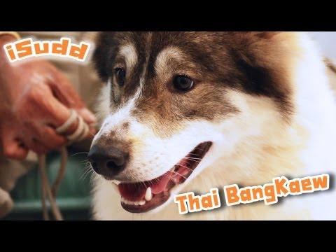 ขนฟู หูตั้ง หางพวง ไทยบางแก้ว (Thai Bangkaew)