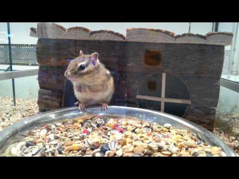 sbadiglia e si stiracchia: il risveglio dello scoiattolo - meraviglioso