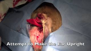 Canine Hematoma Ear Repair Surgery
