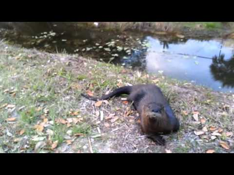 Otter Plays Like a Dog.