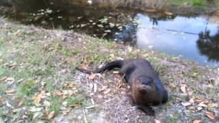 Cute baby otter plays like a dog. He rolls over and plays tag.