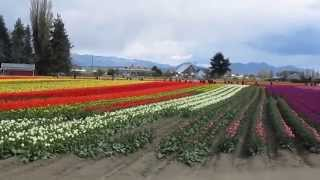 Mount Vernon (WA) United States  City new picture : Skagit Valley Tulip Festival, Mt. Vernon, WA, USA