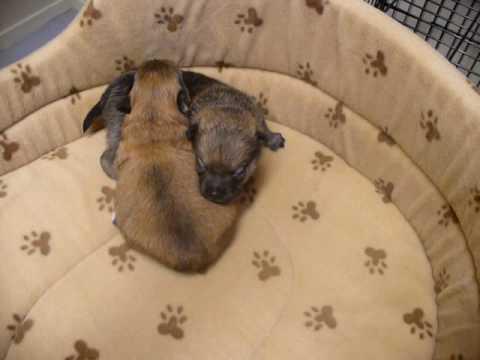 Pomeranian/Chihuahua/Miniature Fox Terrier Pups