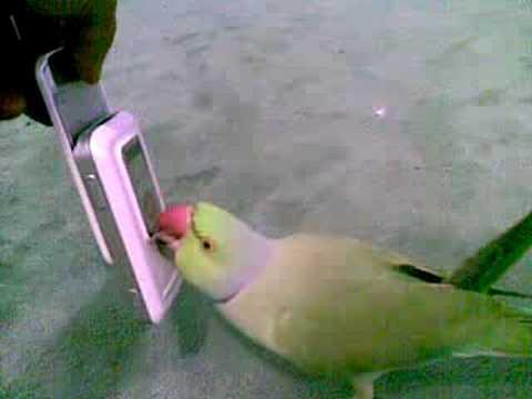 الدرة  ( رقص ) parrot dancing