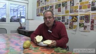 #901 Samenlose Birnen - Birne Novembra
