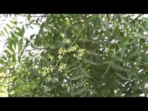 Neembaum hat Blüten durch Bodenaktivator 31.01.2011.mp4