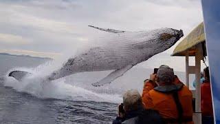 Potężny humbak niespodziewanie wyskakuje z wody tuż przed turystami na łodzi!