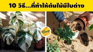 วิธี...ทำให้ต้นไม้ด่าง ทำอย่างไรต้นไม้ถึงจะเกิดใบด่าง เเละสร้างรายได้จากการขายไม้ด่าง