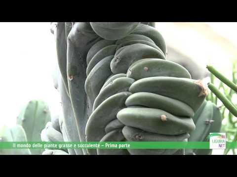 myrtillocactus geometrizan crestato: una meraviglia della natura