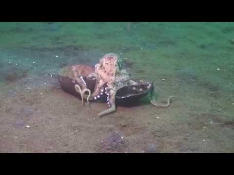 爆笑!這隻章魚因曝露行蹤所以決定搬家,想不到用竟然是這招…